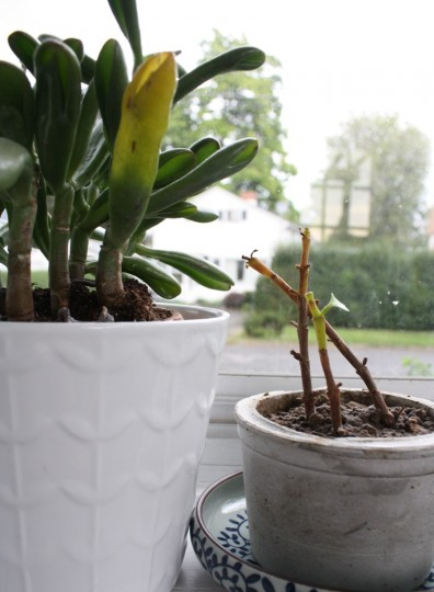 Repotted baby succulent. A single leaf remains.
