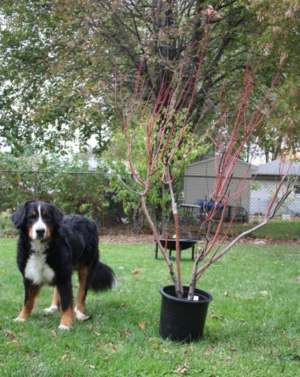 Cody and the cardinal dogwood.