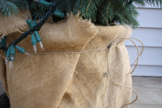 5-gallon container of the tree is wrapped in burlap.