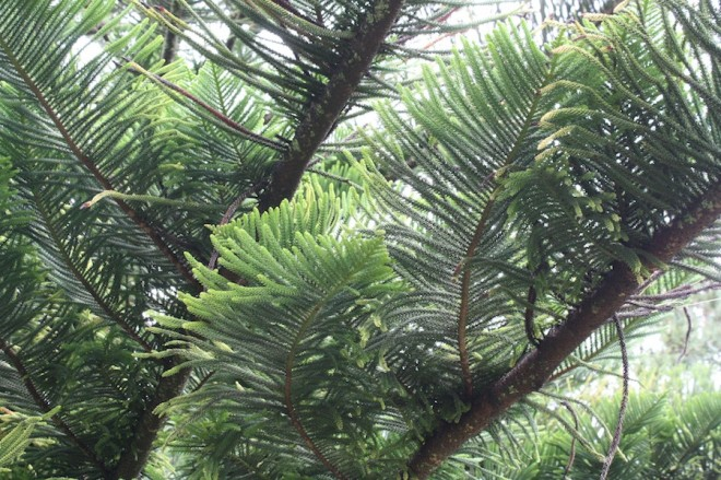 Pine trees in Sao Miguel.